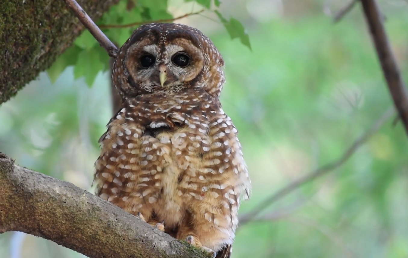 Spotted Owl Genome thumbnail