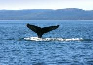 Whale watching on St. Lawrence River
