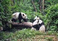 Giant Panda Breeding Research Institute