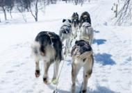 Dog Sledding near Kirkenes