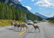 Big Horn Sheep on the road to Kananaskis