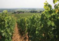 Burgundy Wine Fields