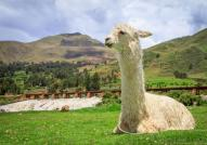 A llama lounging in Peru's Sacred Valley