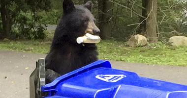 Home Break-Ins By Black Bears Surge In Connecticut Suburbs