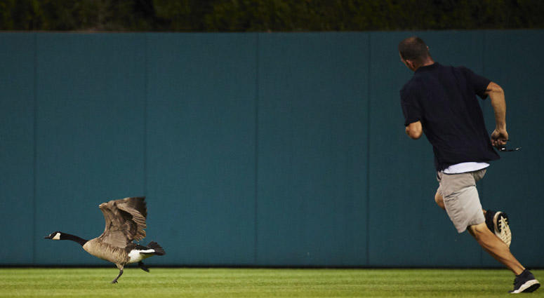 Member of the grounds crew chases a goose around the field during a rain delay in the sixth inning of the game between the Detroit Tigers and the Los Angeles Angels on May 30, 2018, at Comerica Park in Detroit.