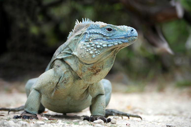 An Ohio man was arrested after hurdling his pet iguana across a restaurant.