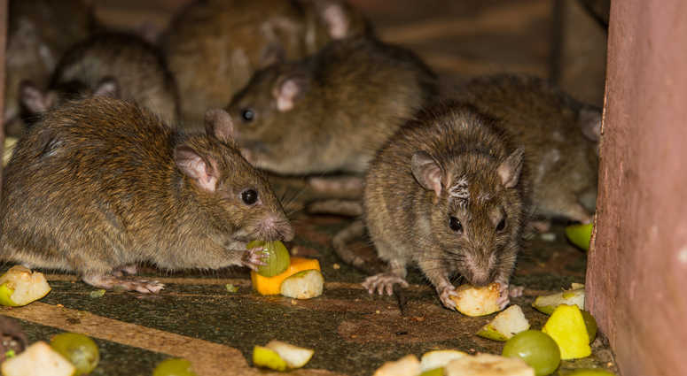 Memphis School Shuts Down For Second Battle With Rat Roach And