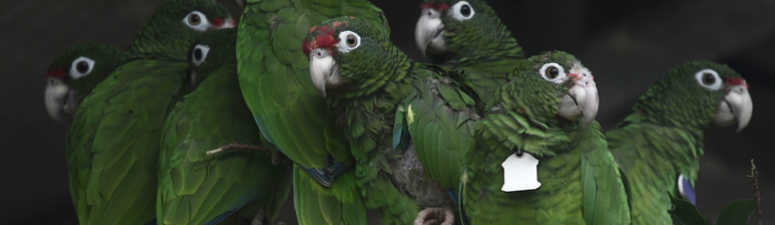 Scientists work to save wild Puerto Rican parrots after Hurricane Maria