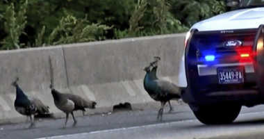 This still image taken from video provided by CBS 3 Philly KYW-TV shows four peacocks that escaped from the Philadelphia Zoo walking on the shoulder of on Interstate 76.