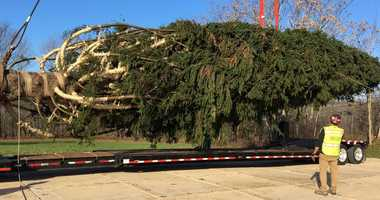 The 2018 Rockefeller Center Christmas tree is cut down in Wallkill.