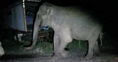 An elephant that escaped from an animal sanctuary in upstate New York.