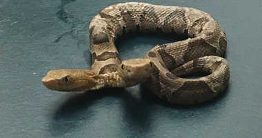 This Sept. 20, 2018 photo provided by the Wildlife Center of Virginia shows a two-headed Eastern Copperhead snake at the center in Waynesboro, Va. The center says the snake was found in a northern Virginia neighborhood.