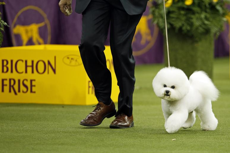 Bichon Frisee, Winner of 2018 Westminster Dog Show