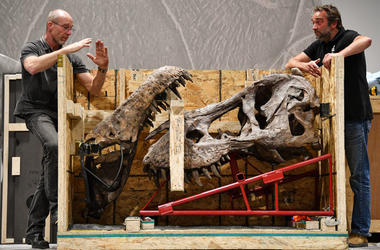 GLASGOW, SCOTLAND - APRIL 12: Fred Deurman and Remmert Schouten from of Naturalis Biodiversity Center unpack Trix the T. Rex at Glasgow's Kelvin Hall, the world's only real touring Tyrannosaurus rex skeleton will be on show