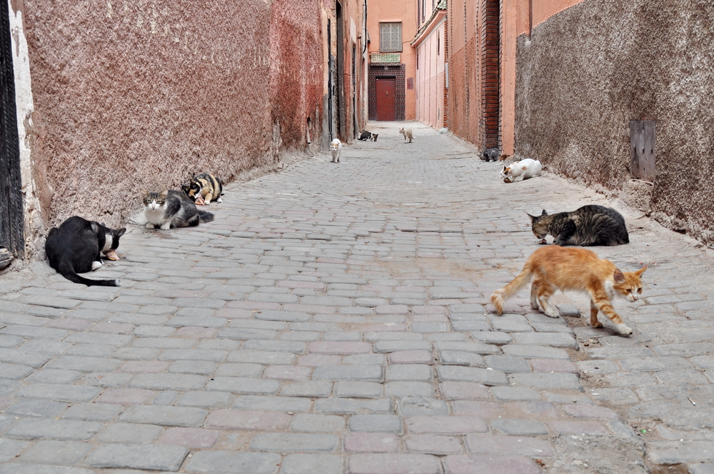 cats on the streets of Marrakech_188800265