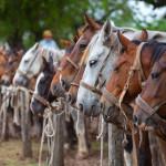 Horses en Fiesta de la Tradicion in San Antonio de Areco_133020620
