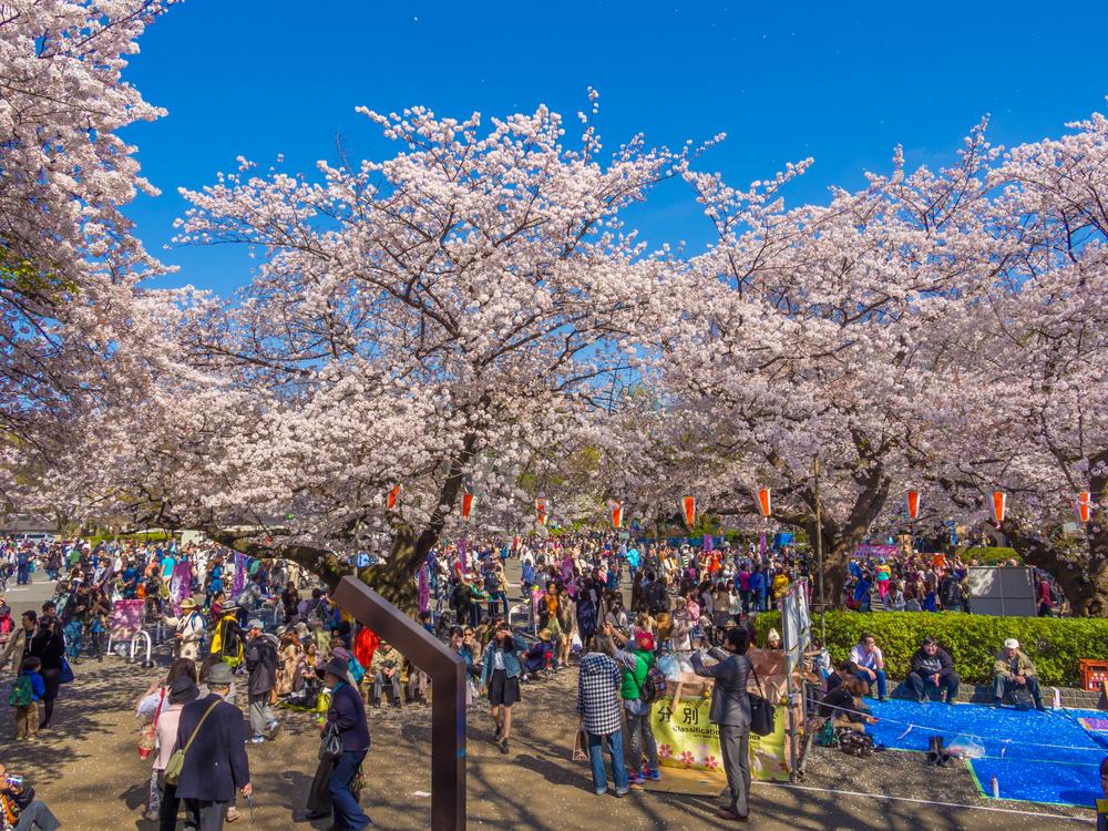 Cherry blossoms festival in Ueno Park_385433764