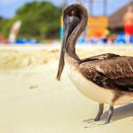 brown pelican on mexican beach_265537958