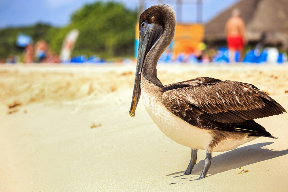 brown pelican on mexican beach_265537958