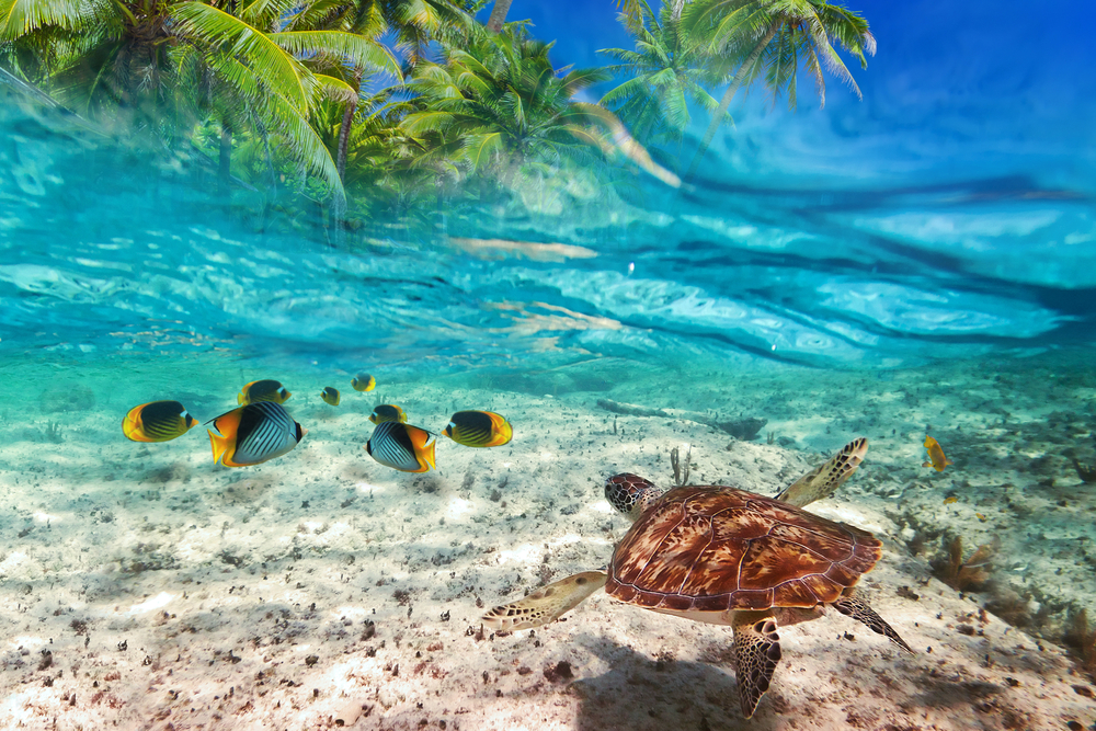 Green turtle swimming at tropical island of Caribbean Sea_166569026