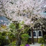 cherry blossom (sakura)_202969834