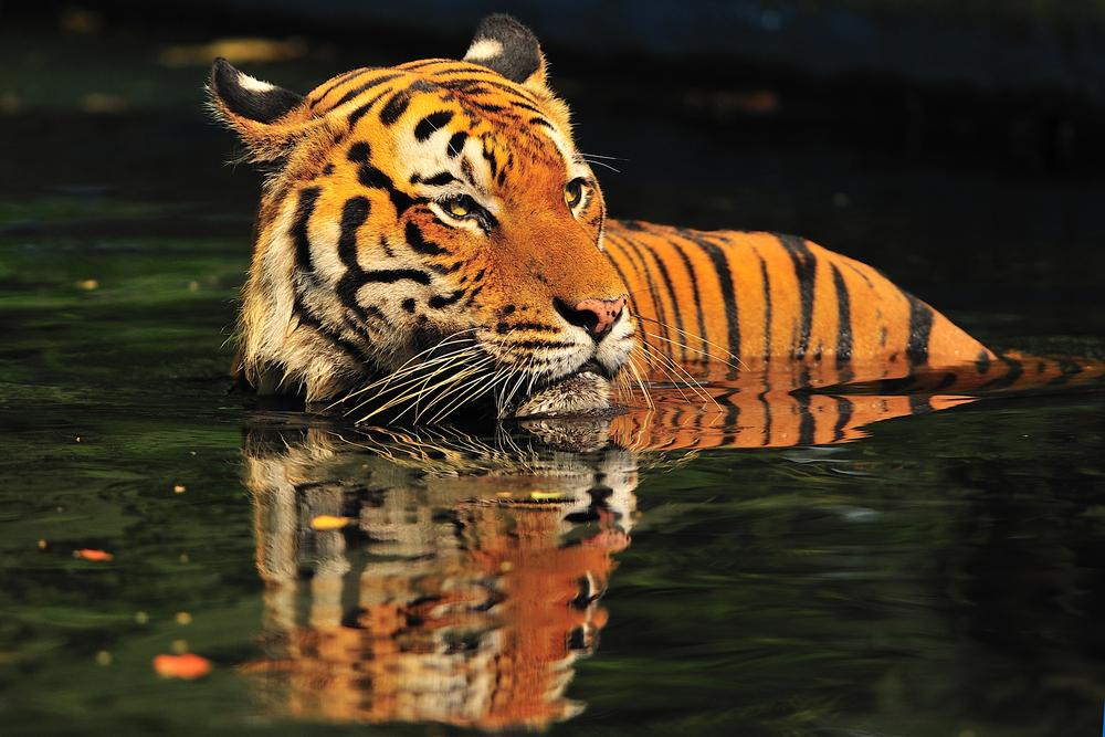Malaysian Tiger take a morning deep at National Zoo_116288137