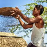 Burmese farmer sifts grains_406947181