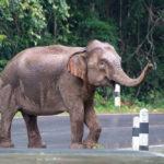 Wild elephants walk on the road_207163639