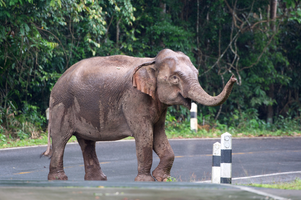Wild elephants walk on the road_207163639