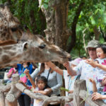feeding giraffe at the Korat Zoo_352375994