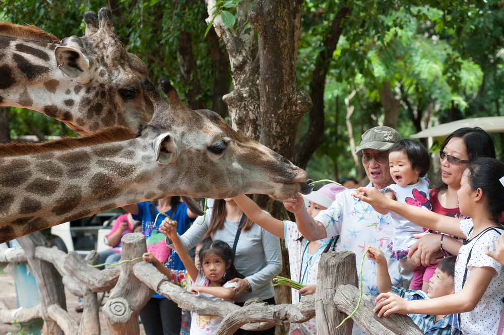 feeding giraffe at the Korat Zoo_352375994
