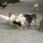 God chicken of Ise jingu_372338929