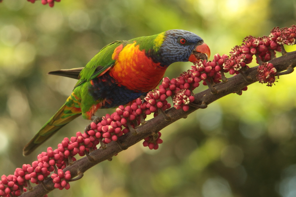 Australian native parrot rainbow lorikeet_98276300