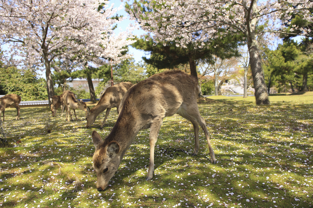 Deer And Cherry Of Nara Park_207651364