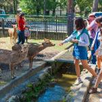 Visitors feeding wild deer in Nara_203183638