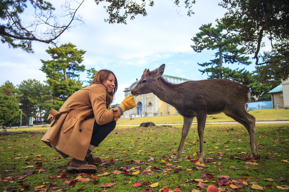 The fall season of Nara city, Japan with nice yellowred color_408279256