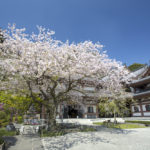 Hase Temple Cherry Blossoms_208133695