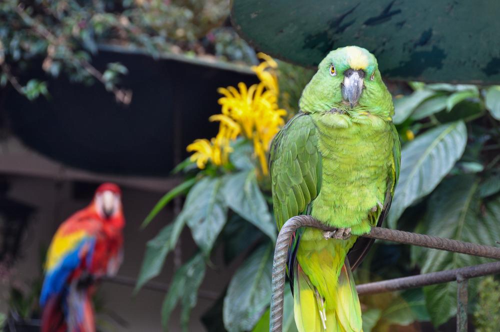 Parrots in Chichicastenango_357845300