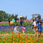 Cosmos Flowers Field of Jim Thompson Farm_337963073