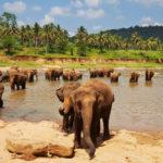Elephant on Sri Lanka_106365701