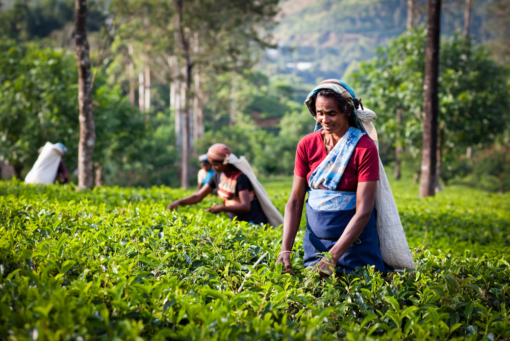 tea plantation in Maskeliya_253990027