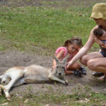 Eastern grey kangaroo female in Gold Coast_230765464