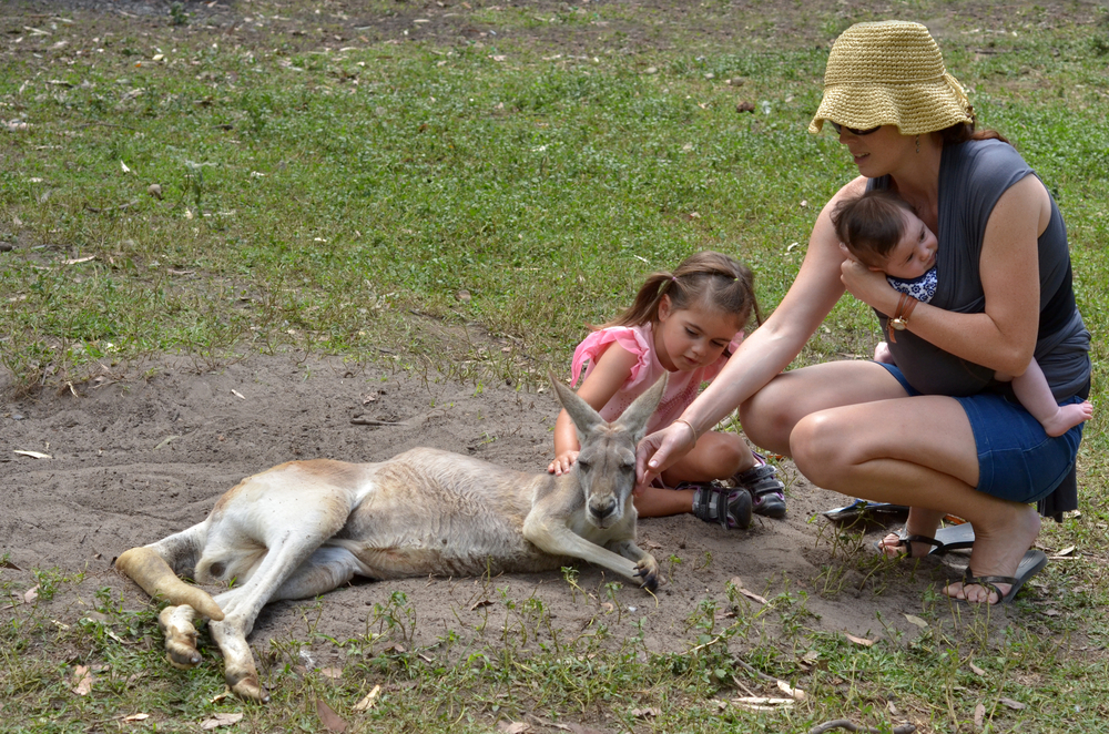 Eastern grey kangaroo female in Gold Coast_230765464