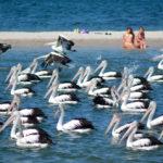 Pelicans at Labrador Gold Coast_222896521