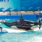 killer whale at the Miami Seaquarium_168740678