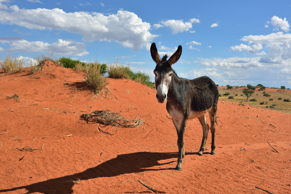 Donkey in the Kalahari desert at sun down_422567641
