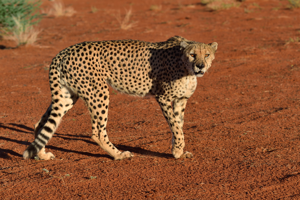 Wild Cheetah in the Kalahari desert at sunset_386601622
