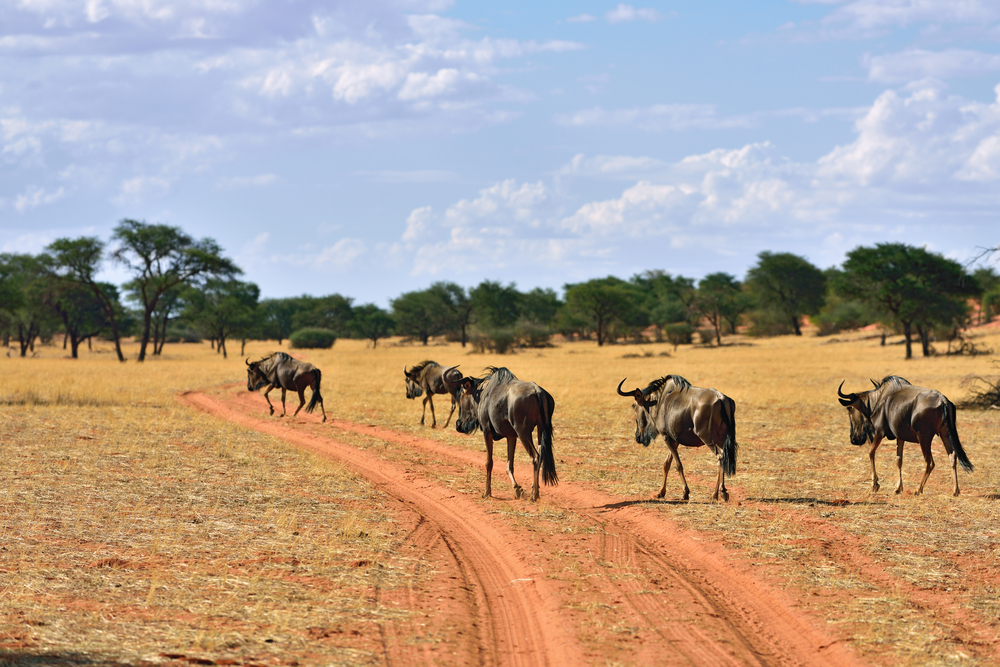 Blue wildebeest antelopes_378288982