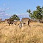 Specie Kobus ellipsiprymnus family of bovidae Namibia_383225191
