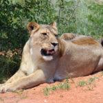 Wild Lioness_411332083